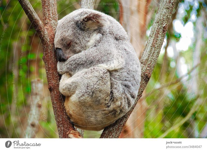 Stay calm in an oppressive situation my friend Koala Australia 1 Safety (feeling of) Serene Idyll Goof off Hunting Blind Eucalyptus tree Behavior Subdued colour