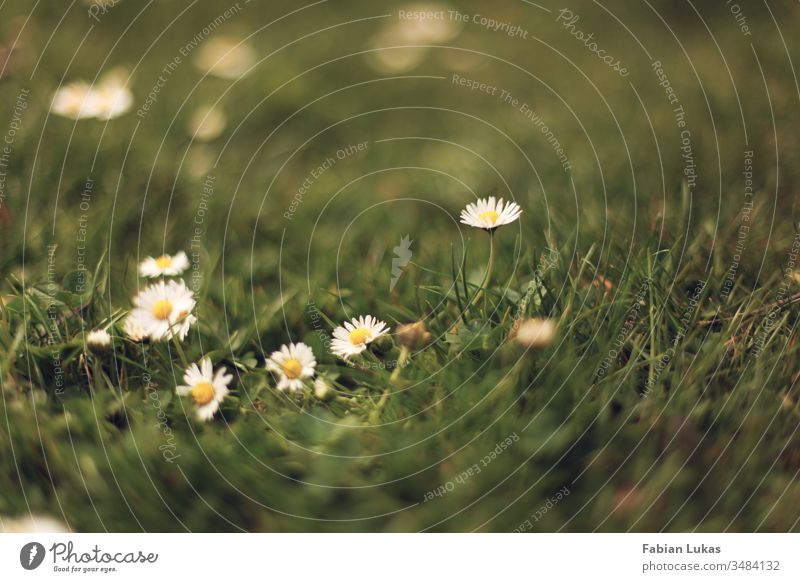 Daisies in the grass Daisy Grass Summer Green Meadow Blossom Flower Nature Garden Exterior shot Close-up Lawn Plant Colour photo