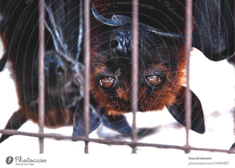Close up of Flying foxes bats upside down in a cage at a market for food, Sumatra, Indonesia wildlife animal black flying fruit mammal corona virus soup vampire
