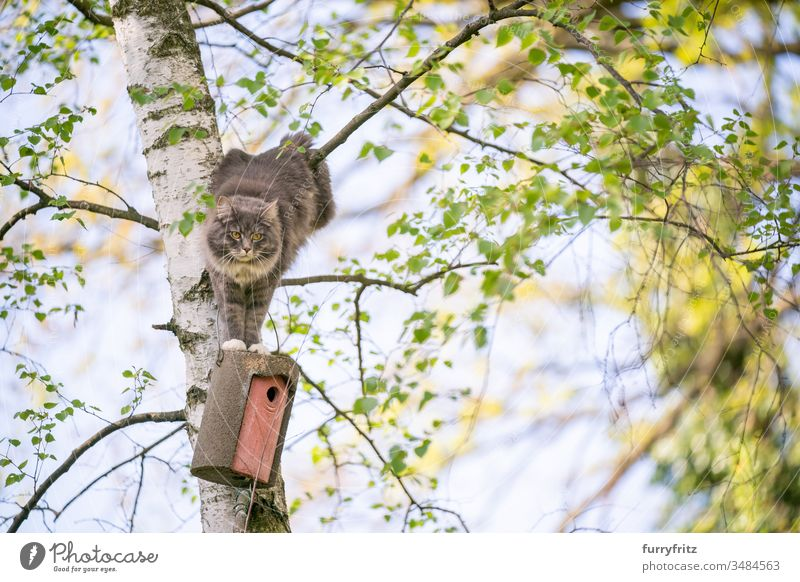 Cat climbs up tree to get to birdhouse pets One animal purebred cat Longhaired cat maine coon cat White blue blotched Outdoors Green Lawn Meadow Grass Garden