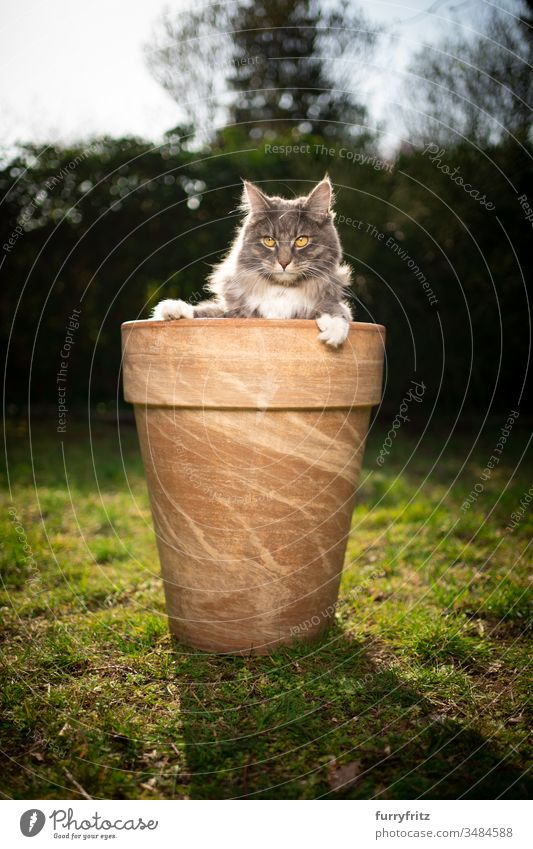 cute Maine Coon cat in a flower pot Cat pets One animal purebred cat Longhaired cat maine coon cat White blue blotched Outdoors Green Lawn Meadow Grass Garden