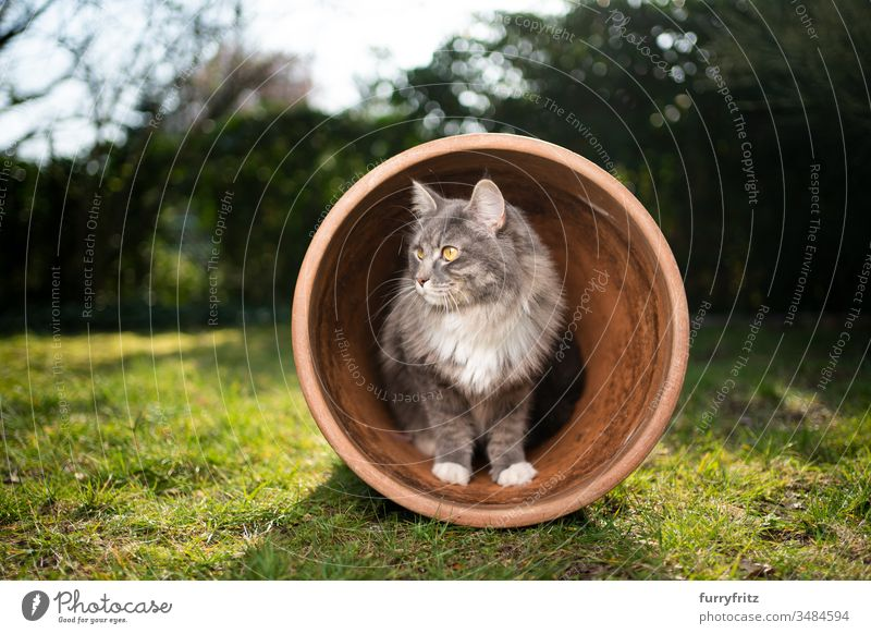 curious Maine Coon cat in a flower pot Cat pets One animal purebred cat Longhaired cat maine coon cat White blue blotched Outdoors Green Lawn Meadow Grass