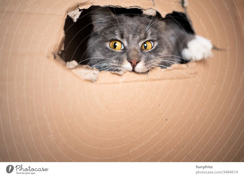 playful cat looks out of a hole in the box Cat pets One animal purebred cat Longhaired cat maine coon cat White blue blotched Fluffy Pelt feline Copy Space