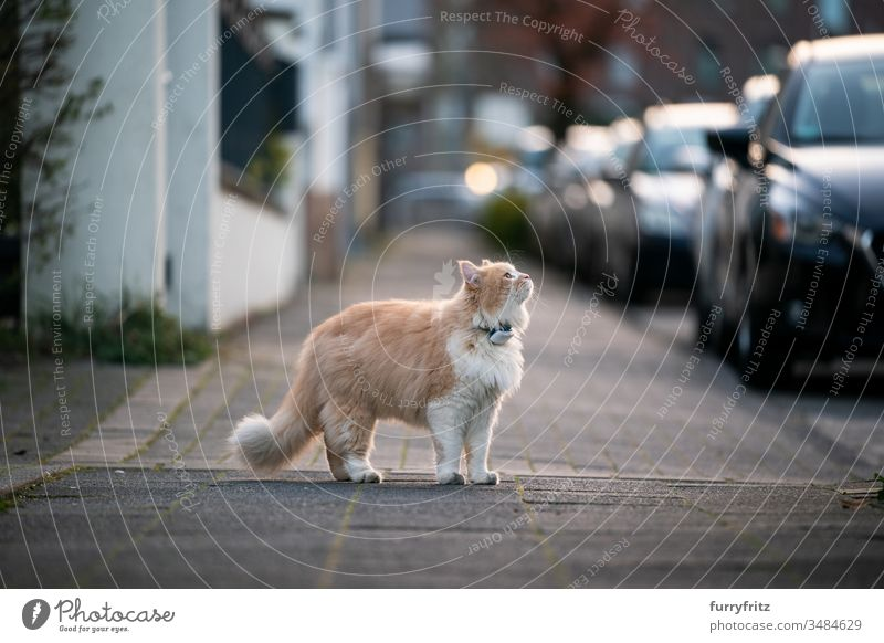 curious Maine Coon cat, standing on the sidewalk of a public street and wearing a GPS tracker on his collar Cat pets One animal purebred cat Longhaired cat