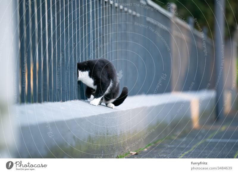 curious black and white cat sticks her head through a fence on the street Cat pets One animal mixed breed cat shorthaired cat tabby Tuxedo black on white