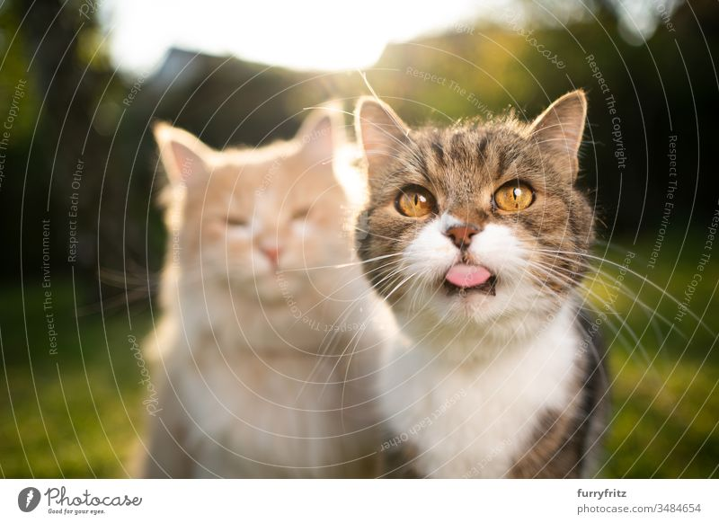funny portrait of two cats of different breeds Cat pets Two animals purebred cat Longhaired cat maine coon cat British Shorthair tabby differently variation