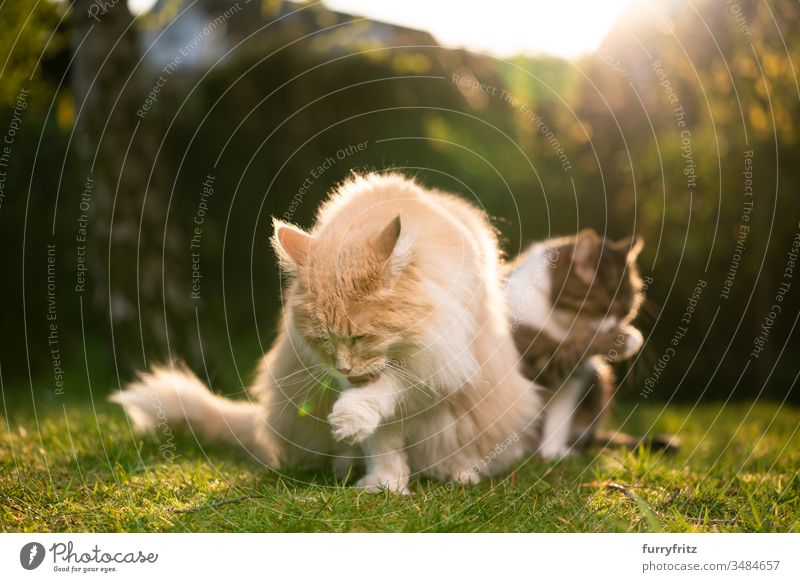 two cats of different breeds clean themselves at the same time Cat pets Two animals purebred cat Longhaired cat maine coon cat differently variation variety