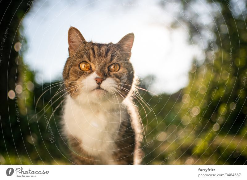 Portrait of a British Shorthair cat in nature Cat pets One animal purebred cat shorthaired cat tabby White Outdoors Green Lawn Meadow Grass Garden