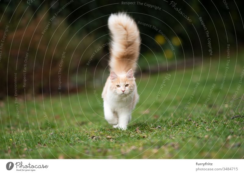 young Maine Coon cat with fluffy, long tail in the garden Cat pets One animal purebred cat Longhaired cat maine coon cat White Fawn Beige cream tabby Outdoors