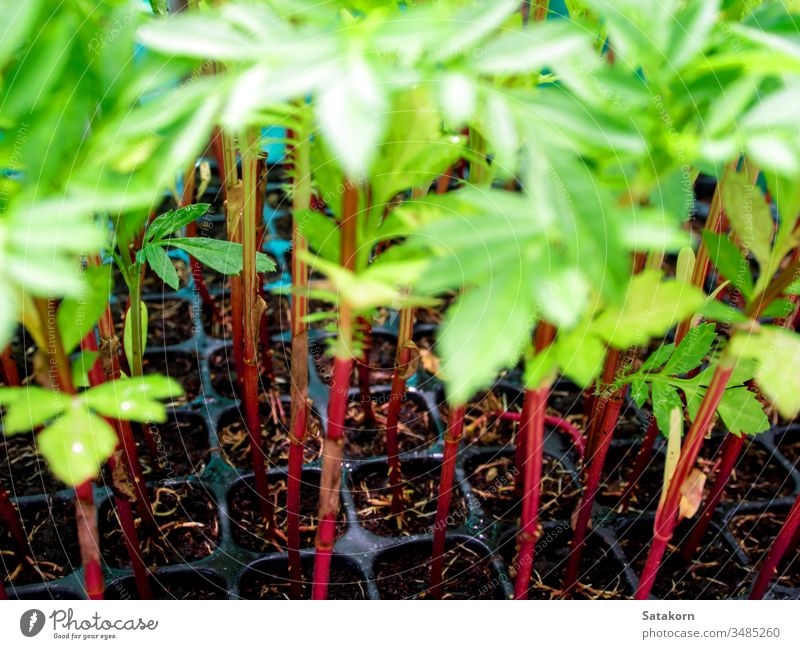 Red trunk of marigold seedling in plastic seedling tray roots young sprout nature flower plant background green red fresh garden growth agriculture gardening