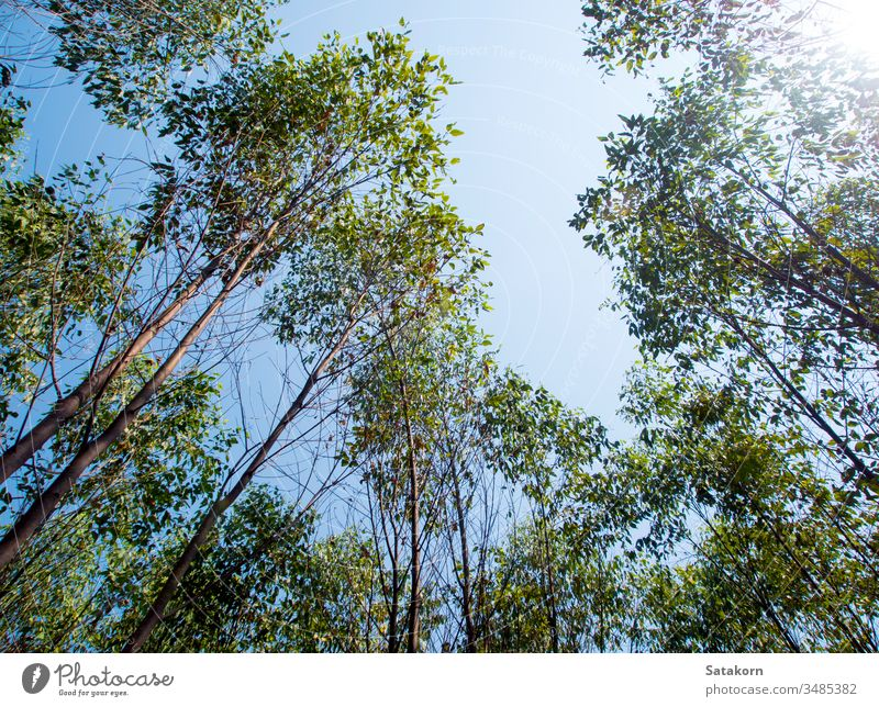 View at the treetop of eucalyptus trees in the farmland sky wood nature agriculture background leaf industrial branches cellulose green wallpaper plant