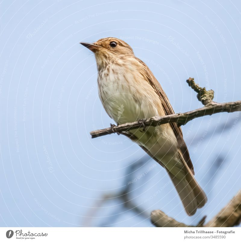 Spotted Flycatcher Portrait striated muscicapa Old World flycatcher Head Beak Eyes feathers plumage Grand piano Legs Claw Tree Branch Twig Sky Sun sunshine