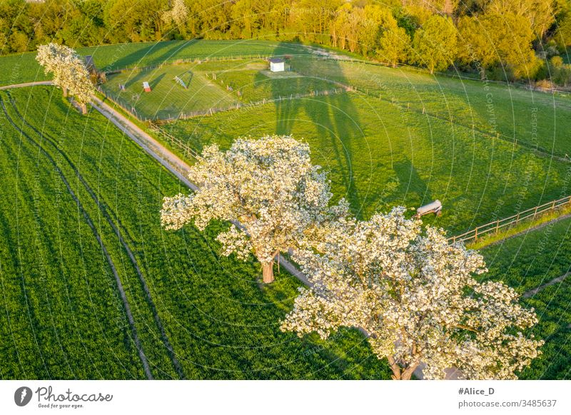 spring Blooming Fruit trees on bright green agriculture fields above aerial aerial view agricultural apple background blooming branch countryside drone