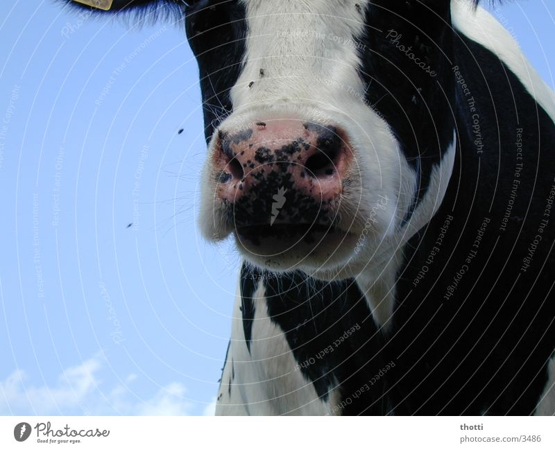 Sky Animal Meadow Flying Cow Pasture Moo