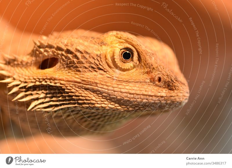 Bearded dragon in side profile bearded dragon Saurians Eyes side view Face Head Reptiles Dragon Animal Animal portrait Zoo Looking Colour photo Nature