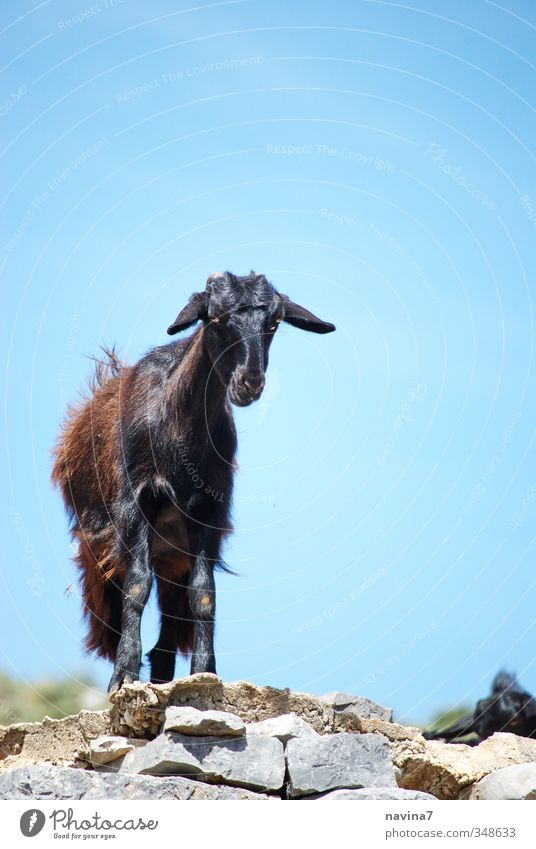 who's watching who? Animal Pet Farm animal Wild animal Goats 1 Observe Warmth Watchfulness Serene Calm skepticism Loneliness Colour photo Exterior shot Deserted