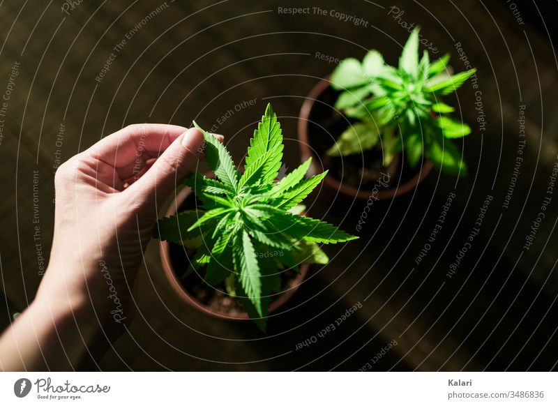 Cannabis cultivation at home Hemp nurse Hand extension Plant Agricultural crop Alternative medicine hemp plant Cannabis plant thc Close-up Smoking Intoxication
