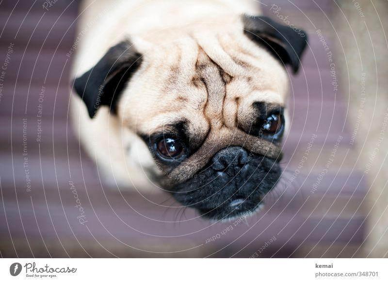 Roll the pug off the sofa. Animal Pet Dog Animal face Pelt Pug 1 Looking crease Eyes Ear Snout Level Colour photo Subdued colour Exterior shot Close-up Detail