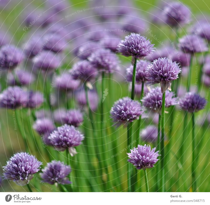 tasty leeks Herbs and spices Chives Nutrition Nature Agricultural crop Green Violet Garden plants Leek Spicy salad spice Blade of grass Many Crowd of people