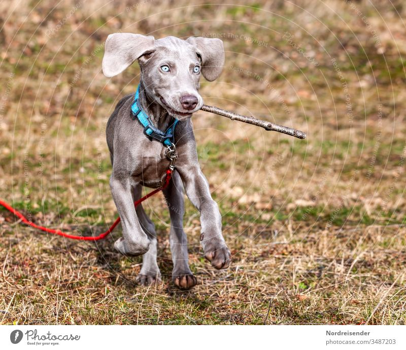 Scheme of a child with a Weimaraner puppy playing on a meadow Puppy Dog Pet Animal Brown pretty Hound portrait Purebred Hunting Language Grass youthful joyfully