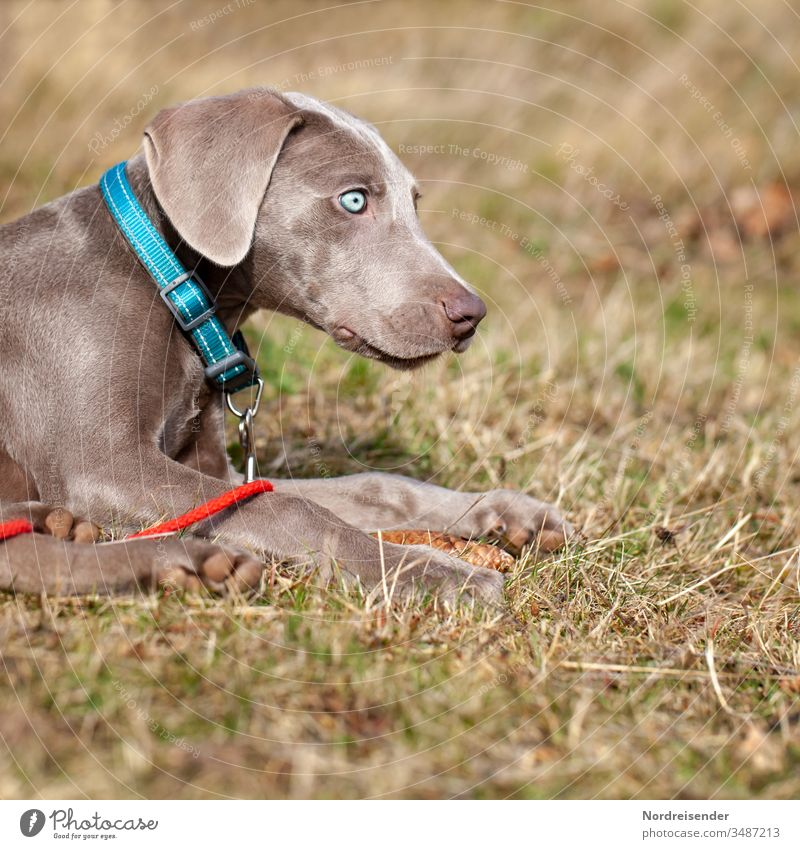 Weimaraner puppy with blue eyes on a meadow Puppy Dog Pet Animal Brown pretty Hound portrait Purebred Hunting Language Grass youthful joyfully Mammal Romp Small