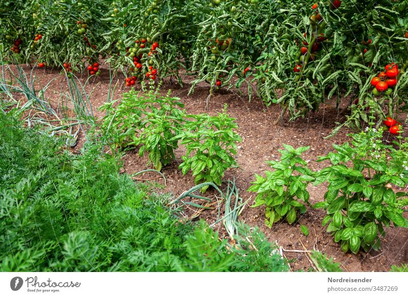 Ripe tomatoes, basil, onions and carrots on a bed in the garden Tomato Basil Garden yield Vegetable Onion Fruit Earth gatenerde Harvest Mature