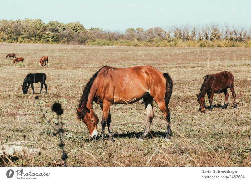 brown horses in the pasture landscape animal field nature farm grass summer stallion young grazing beauty natural wildlife equine autumn mare ranch tree green