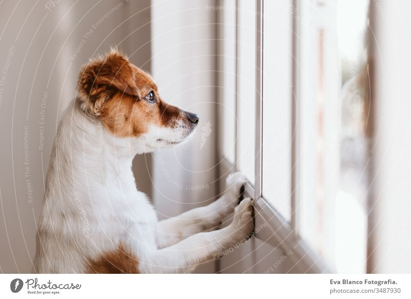 Jack russell dog at home looking by the window searching or waiting for his owner. Pets indoors jack russell cute small pets loyal miss love sorry view tranquil