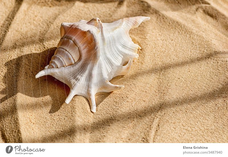 A beautiful big shell lies on the sea sand. The concept of a summer vacation at sea and travel. seashell shadow palm holiday branches golden nature tropical