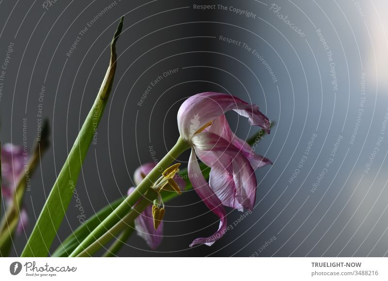 In the increasing morning light the green leaves at the top began to take on the black colour of death while the pale pink tulip flowers turned away to die as well