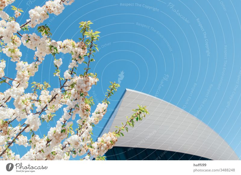 Spring blossoms in front of modern facade and blue sky Spring fever Spring colours Bud petals Cherry blossom Blossoming Nature Plant Modern architecture Roof