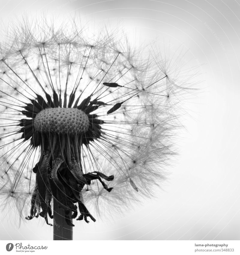 atmosphere of departure Nature Spring Summer Plant Flower Blossom Dandelion Flying missile Umbrellas & Shades Delicate Fleeting Feather Easy Black & white photo