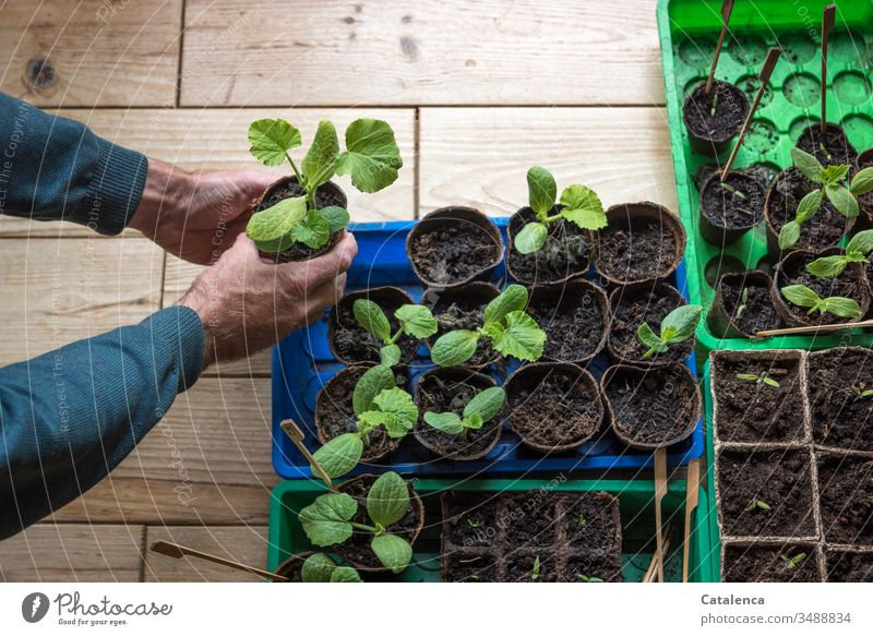 Male hands holding a young zucchini plant Zucchini Interior shot Courgette plant Extend Growth extension Nature Green Plant Agricultural crop Masculine