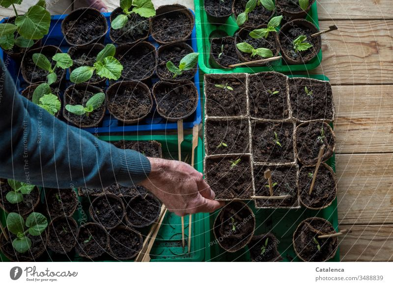 A man's hand holding a growing pot with tomato seedling hands arm Tomato wooden floor Toamen seedling Zucchini culture pot cultivation Interior shot