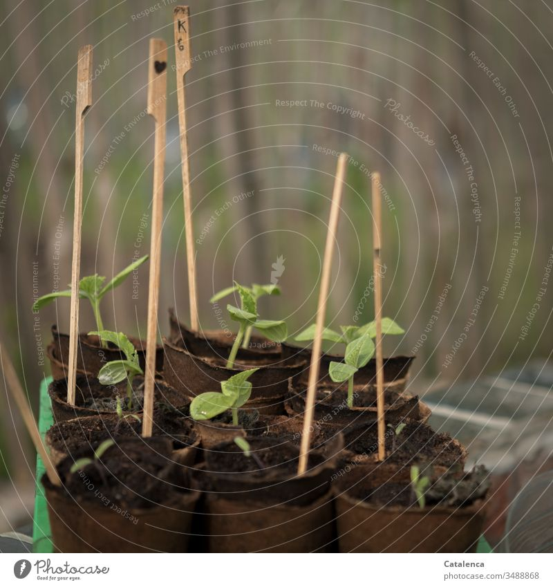 Grurken seedlings grow upwards Cucumber Sapling Gardening Cucumber seedling Growth extension Nature Green Plant Extend Agricultural crop cultivation Day Spring