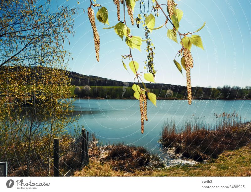 Birch pollen Spring Nature out Exterior shot Hang twigs Birch tree leaves Lake Landscape Colour photo Tree Deserted Day Twigs and branches Plant Environment