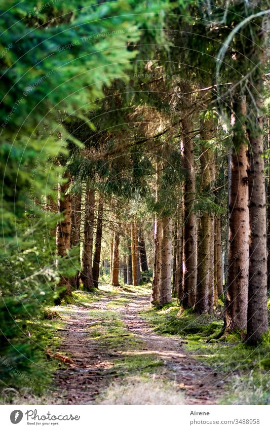 Forest, always recreation for the soul Lanes & trails Sunlight green Loneliness Calm Brown Coniferous trees Coniferous forest Hiking Going Beautiful weather