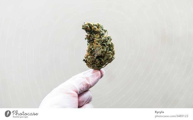 checking  fresh marijuana buds in male hands. Trimming medical marijuana CBD alternative background cannabinoids cannabis close closeup detail flower ganja