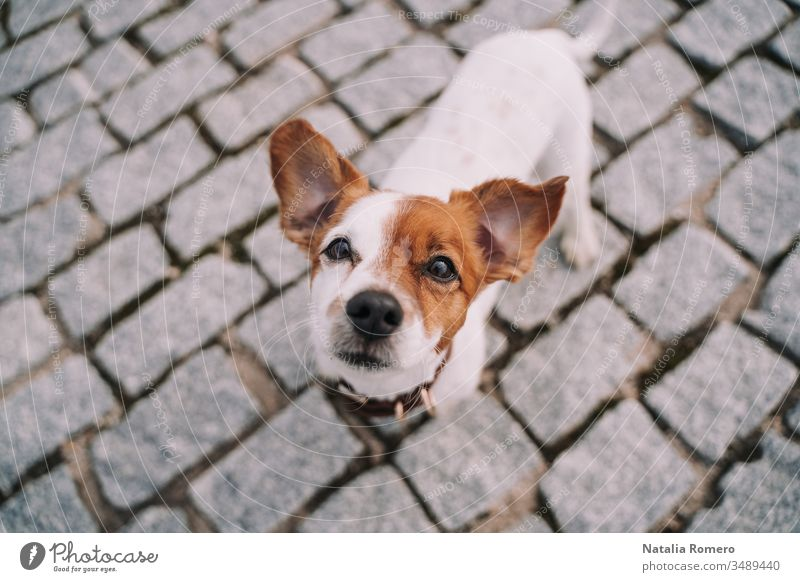 A beautiful small dog is standing in the street. The pet is looking at the camera. It is very attentive and curious. It has a half face brown and half white.