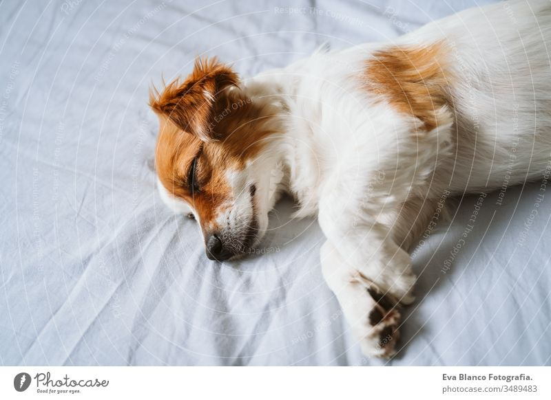portrait of cute jack russell dog at home sleeping on bed. pet daytime resting small lying happy love animal life cuddle terrier inside nose wake up relax under
