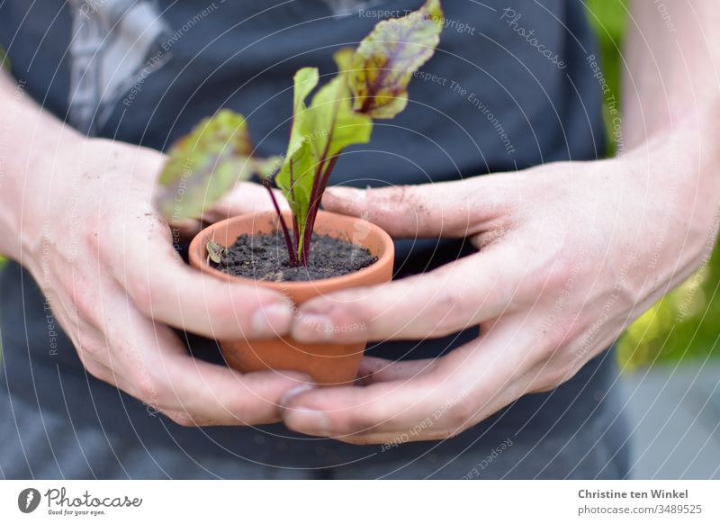 Beetroot plant in a clay pot, held by a young man beetroot little plant young vegetables Vegetable plants Garden Bed (Horticulture) plant pot spring Nutrition