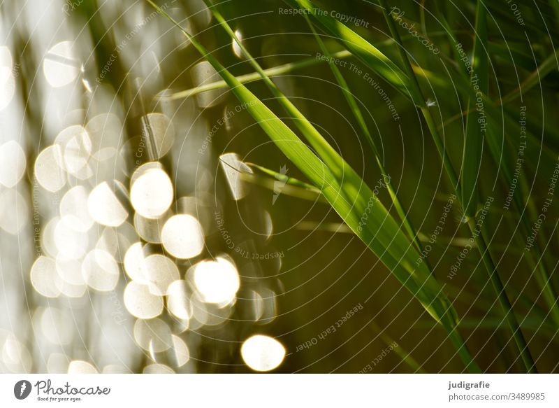 Reeds and light reed grass Water Light light points Grass green Moody Summer Nature Lake bank Exterior shot Colour photo Reflection Calm