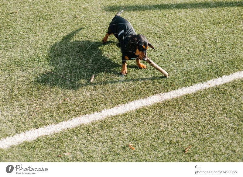a dachshund playing with a stick Dog Dachshund Playing Stick little stick Animal Pet Cute Joy Love of animals Lawn Football pitch Line 1 Deserted fun Toys