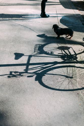 bike, dachshund, legs Bicycle Dog Dachshund Legs Lanes & trails Shadow Shadow play person Street Animal Pet Love of animals Exterior shot Cute