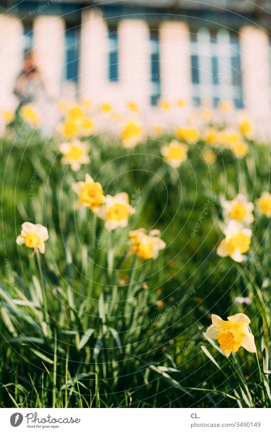 daffodils Flower Flower meadow Narcissus Meadow Yellow Grass Spring Easter Blossom Green Nature Plant Blossoming Deserted Garden Day Shallow depth of field