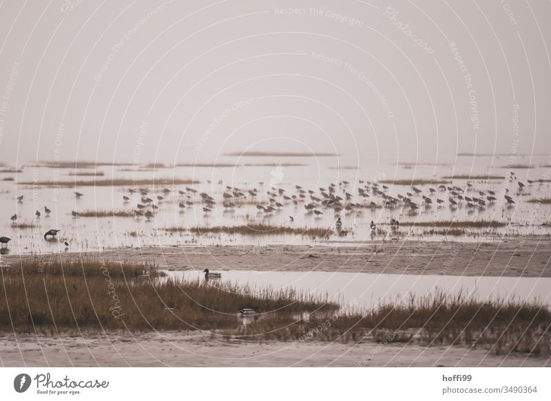 Seabirds in the Wadden Sea seabird Wild animal Nature Seagull Poultry Sea bird Water seagulls move Black-headed gull Beak Ocean Lake Flock Purple Sandpiper