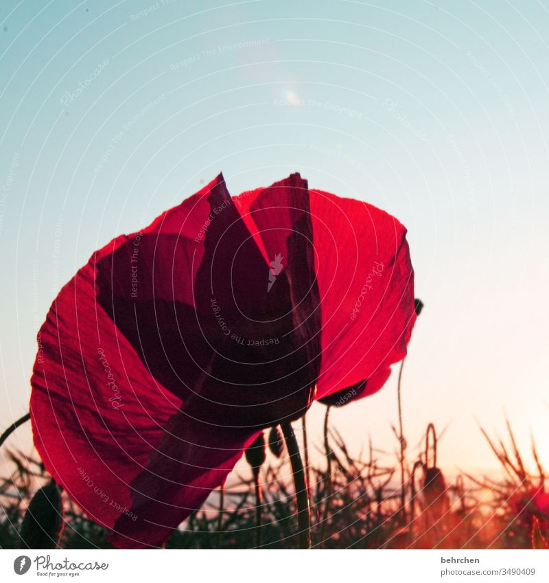 for a nice mo(h)nday evening Blossom leave Dusk Twilight Sky Deserted Environment Warmth Wild plant Colour photo Exterior shot Poppy field Red Plant Nature