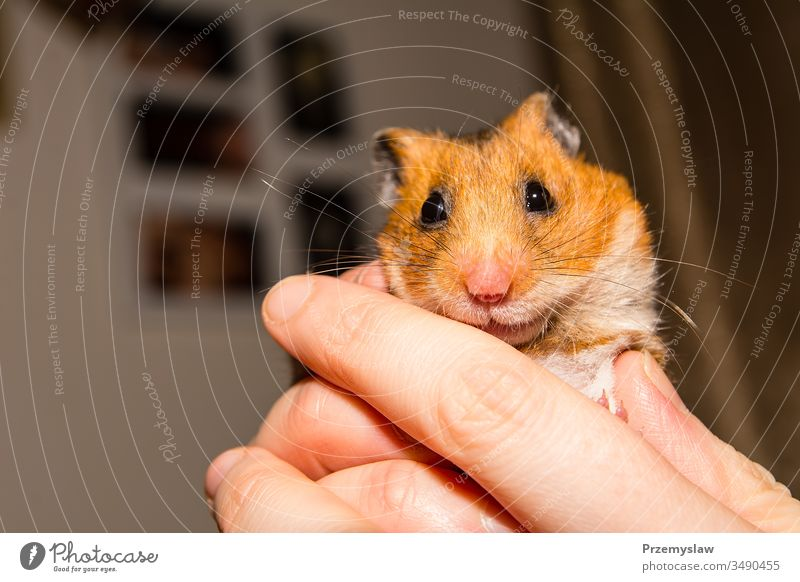 Cute little hamster rodent animal cute funny nature fur horizontal portrait colorful