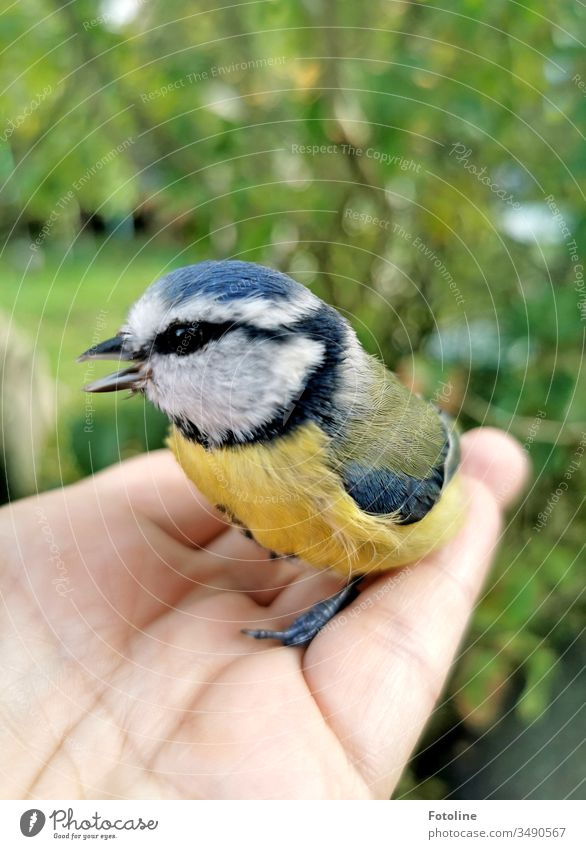 Rescued - or a little blue tit I rescued from the claws of my cat. Tit mouse Bird Exterior shot Animal Nature Colour photo Animal portrait Day 1 Wild animal