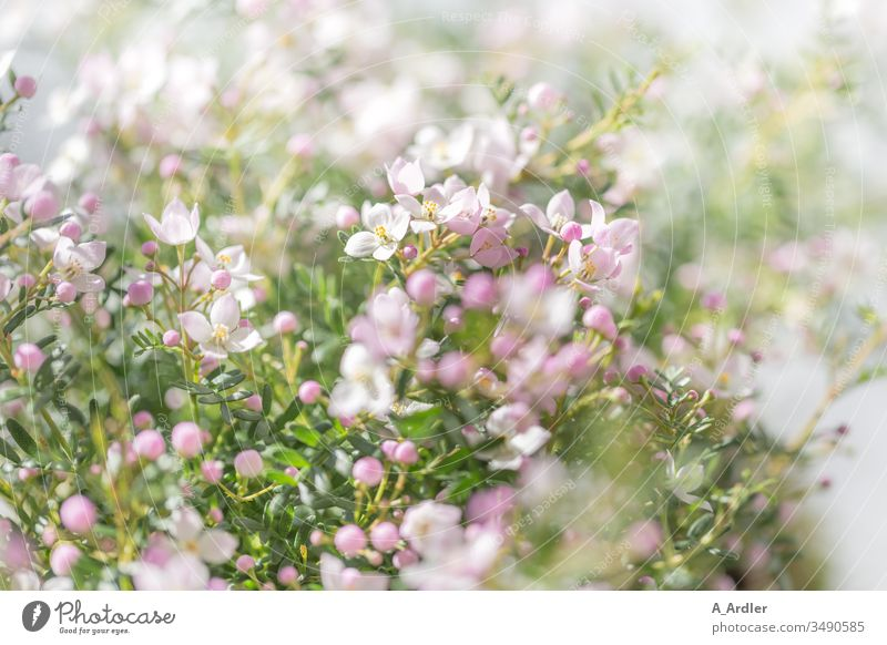 Fragrant star ( Boronia anemonifolia ) flowers Pink White Fragrant starlet bokeh Flowers tender Delicate Beautiful Bright Lovely Elegant Dreamily meditative